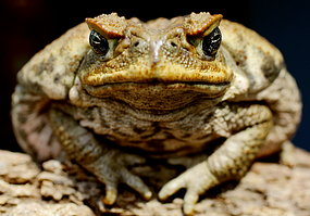 Close up of a poisonous cane toad sitting on a log. (Click for larger image.)