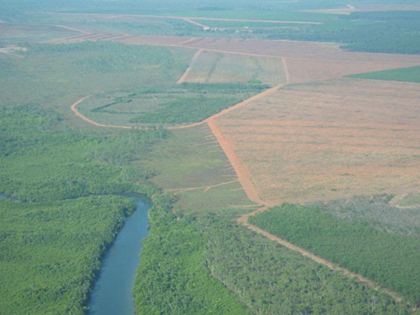 A timber plantation on Melville Island. (ABC: Wendy Carlisle)
