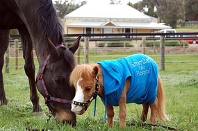 Koda was born to two normal-size miniature horses at a farm.