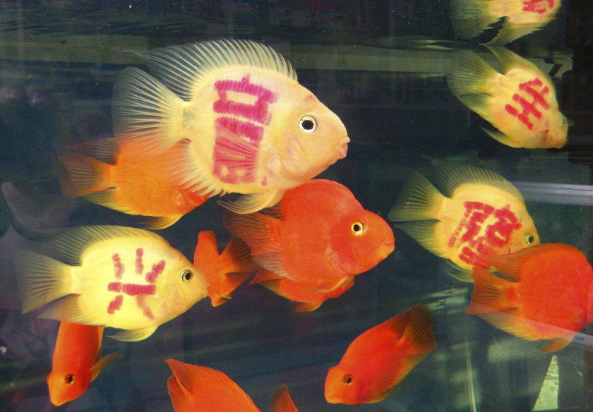 Pet shops in a city in south-west China are offering fish tattooed with