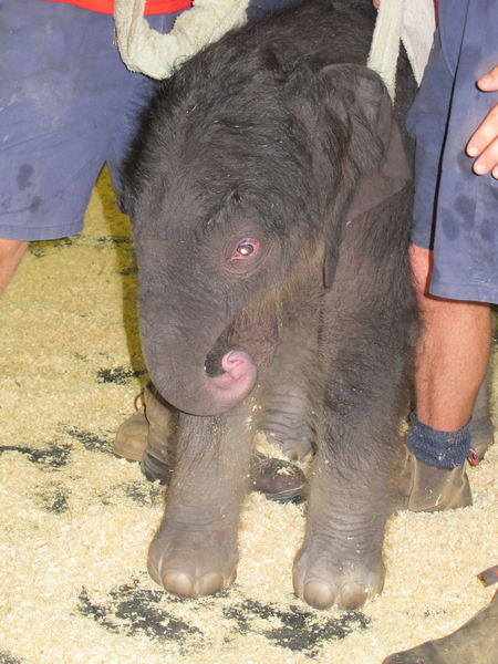 Melbourne Zoo is celebrating the long-awaited arrival of a baby elephant.
