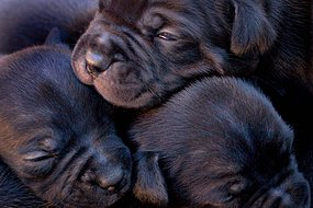 Three newborn puppies huddle together