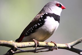 A Diamond Firetail finch sits on a branch