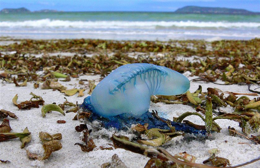 WINNER: A dull summer day on Middleton Beach, Albany, was brightened by this wrinkled bluebottle, slowly drying out. (Andrea Deegan)