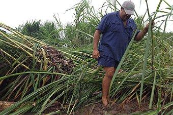 Cane farmer with his feet in silt.