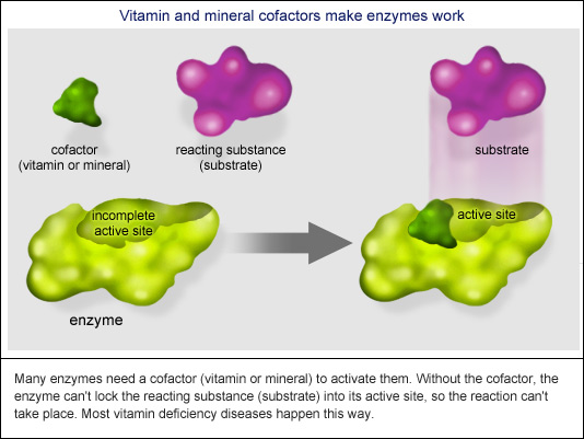 Many enzymes need a cofactor (vitamin or mineral) to activate them.