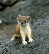 stoats are very efficient