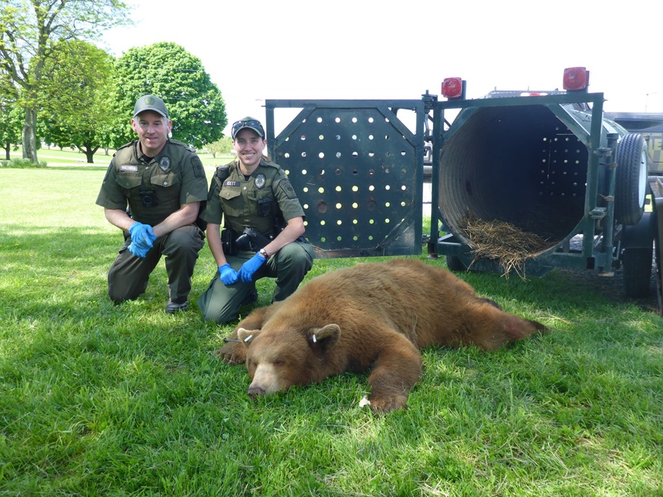 Game wardens capture rare cinnamon bear in central Pennsylvania