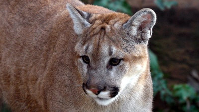 Mountain-lion-jpg_20160618055402-159532