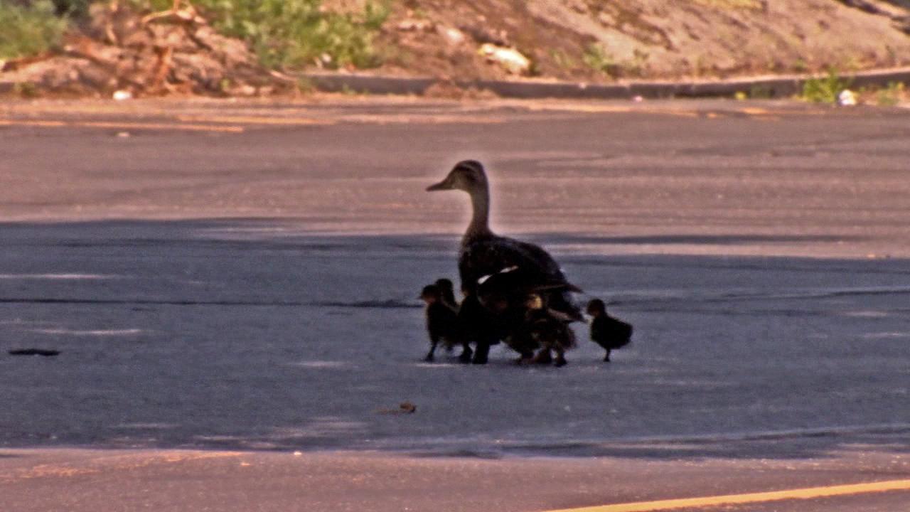 ducklings rescued