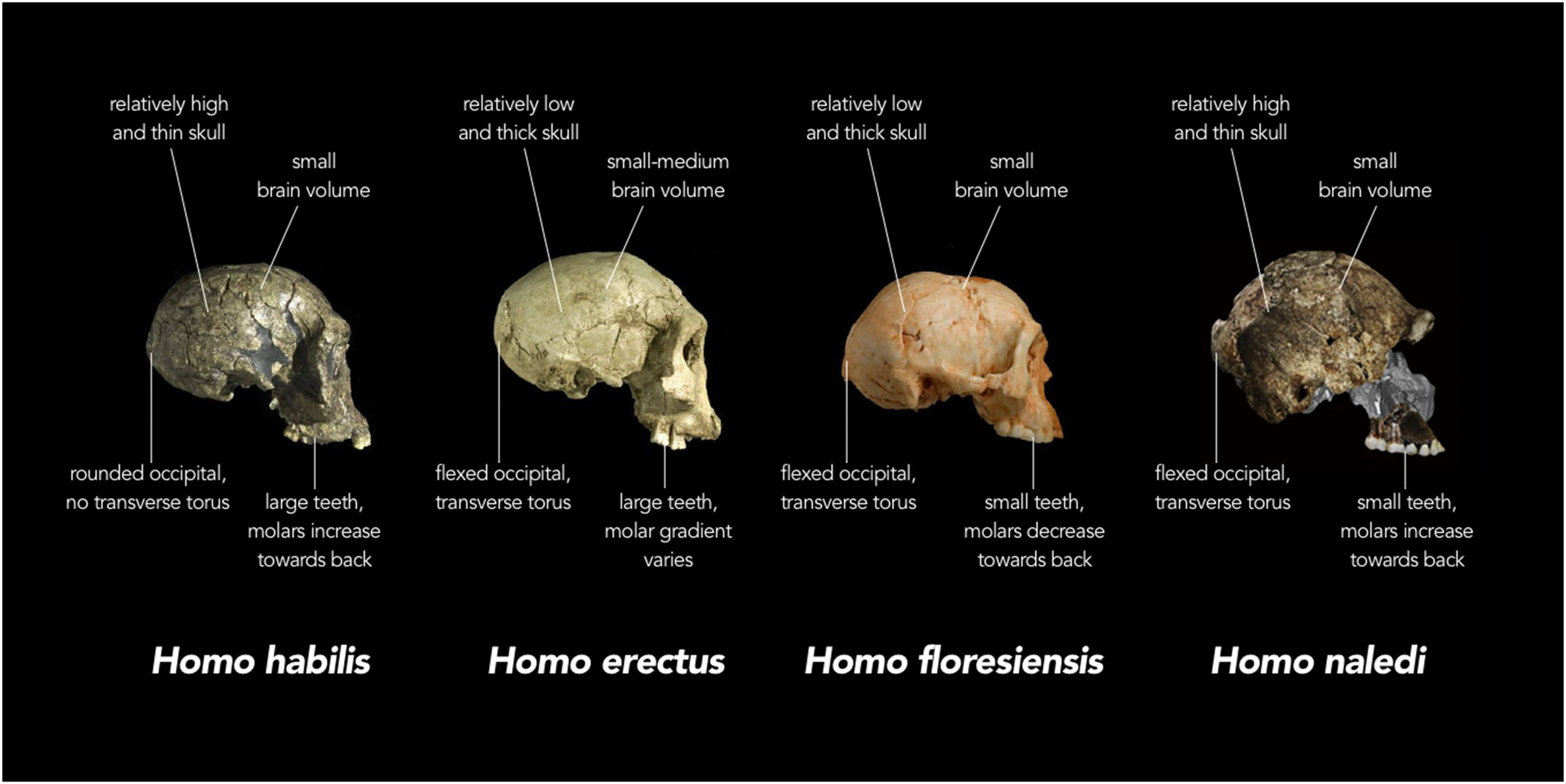 Nova Especie De Hominideo E Descoberta