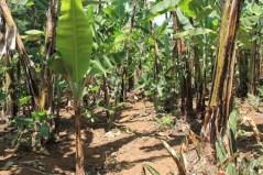 trail through the banana plants