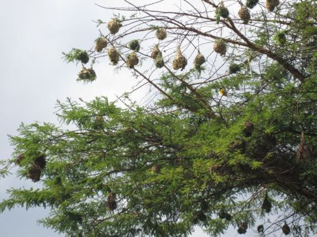 weaver birds nests