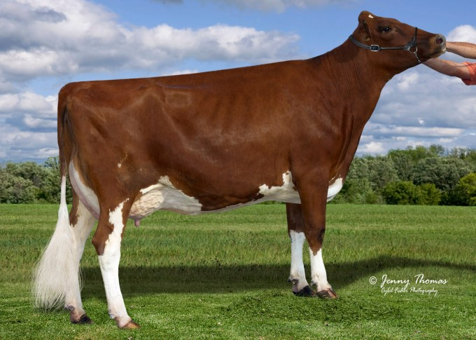 Golden-Oaks Dura Rae-P Red VG-86 2y. USA Mother / Mutter / Mère / Madre of ROBIN-PP RED 02-04 305 22'560 lbs. (10'255 kg) 3.80 % F 3.30 % prot. Owner / Besitzer / Propriétaire / Propietario: Ja-Bob Fram, Eaton, Ohio, USA