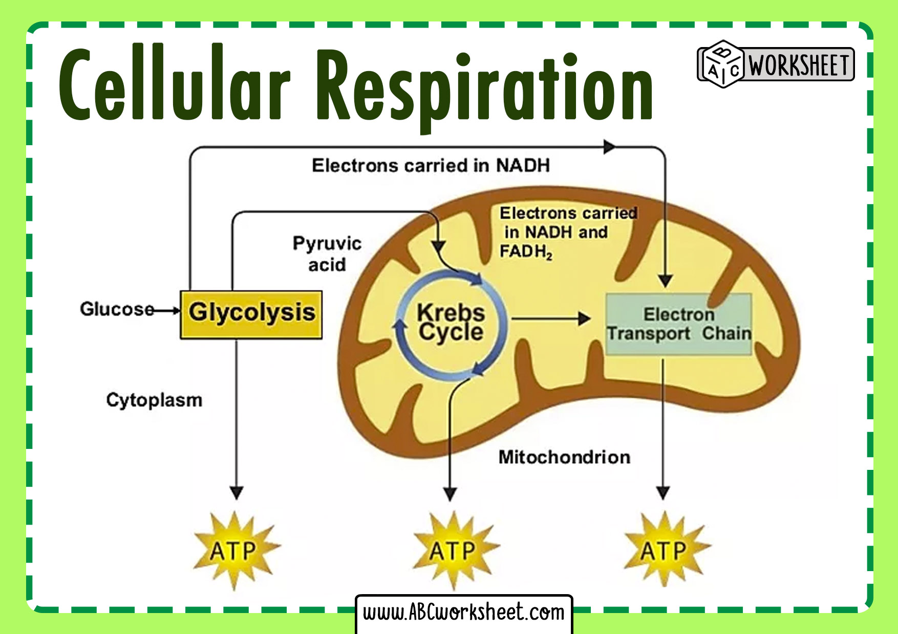 Cellular Respiration Steps