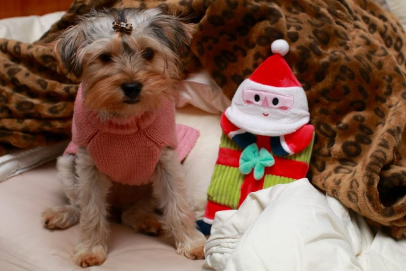 Yorkshire Terrier Puppy - prepare for a puppy
