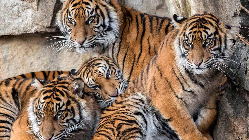 Berliner Tierpark: Rückschlag beim Artenschutz für die Sumatra-Tiger