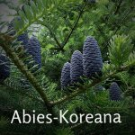 Abies-Koreana[1]