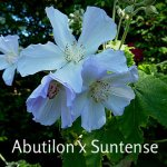 Abutilon x Suntense May 31st (2)
