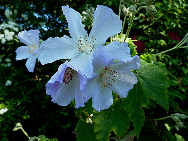 Abutilon X Suntense Growing Well In Scotland