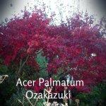 Acer-Palmatum-Ozakazuki1[1]