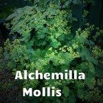 Alchemilla Mollis (2)