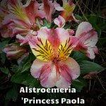 Alstroemeria 'Princess Paola