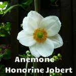 Anemone Honorine Jobert - Copy