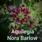 Aquilegia Nora Barlow