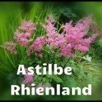 Astilbe Rhienland (3) - Copy