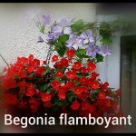 Begonia Flamboyant with Clematis Blue Angel