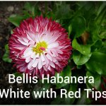 Bellis Habanera White with Red Tips (2)