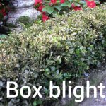 Box Blight