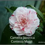 Camellia Japonica Contessa Maggi