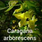 Caragana-arborescens-
