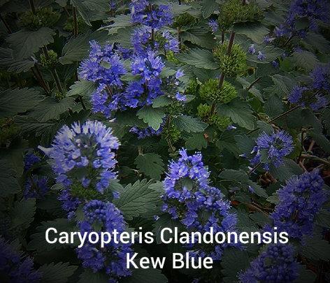 Caryopteris Kew Blue