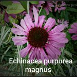 echinacea-purpureamagnus-6-copy