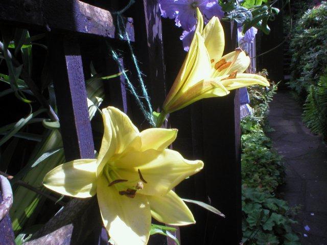 Lilium golden Splendour