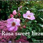 Rosa sweet haze