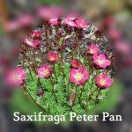 Saxifraga Peter Pan