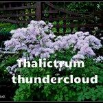 Thalictrum Aquilegifolium Thundercloud