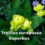 Trollius europaeus Superbus