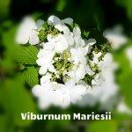 Viburnum Plicatum Mariesii.
