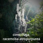 cimicifuga racemosa atropurpurea (3)