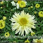 leucanthemum goldrush (7)