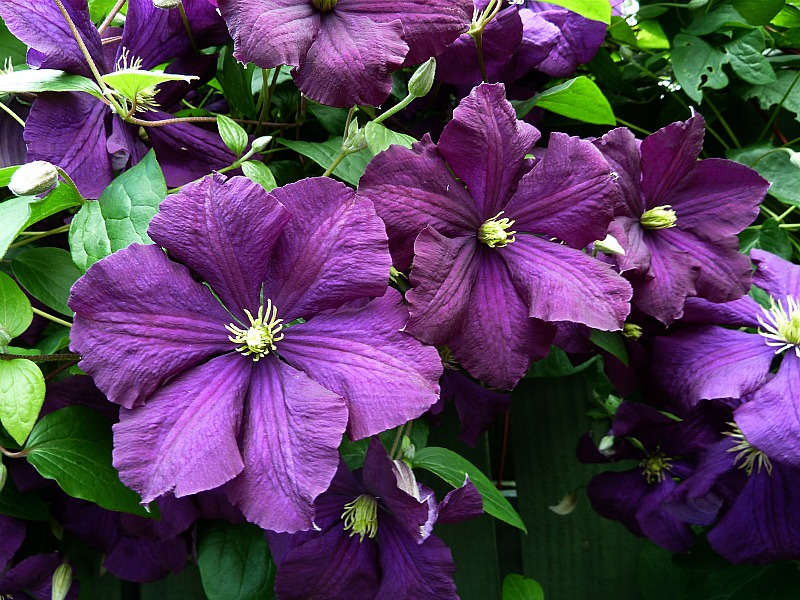 a clematis primer cottage garden living. Black Bedroom Furniture Sets. Home Design Ideas