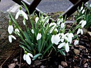snowdrop Nivalis February 16th (3)