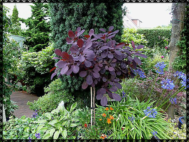 standard cotinus royal purple aberdeen gardening. Black Bedroom Furniture Sets. Home Design Ideas