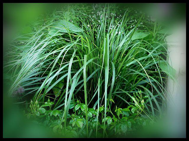 Stipa arundinacea an evergreen ornamental grass for Hardy grasses for the garden
