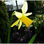 Daffodil February Gold (2)